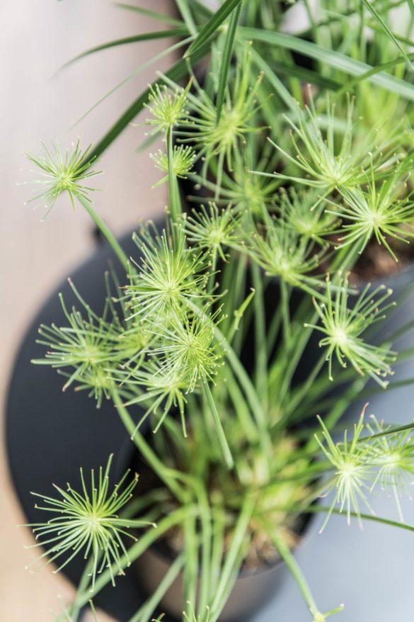Cyperus Zyperngras Zimmerpflanze sonnig