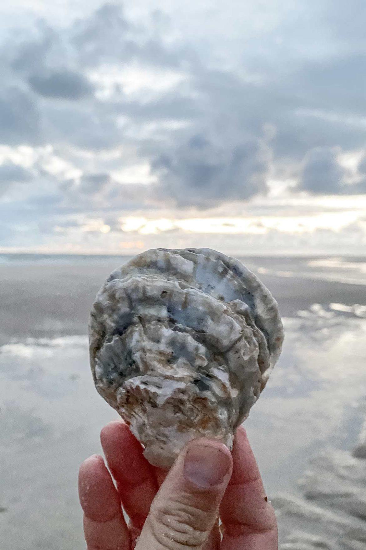 Austernmuscheln finden auf Sylt