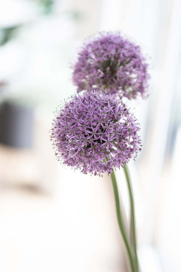 Allium Nahaufnahme